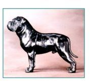 Bullmastiff - Large Standing Dog
